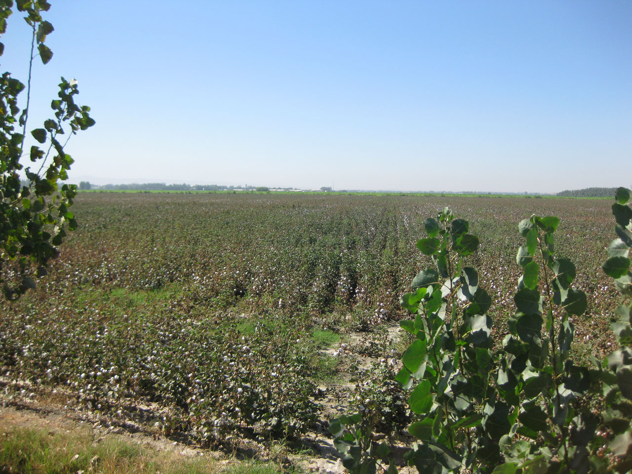 Cotton fields near Bukhara, Uzbekistan