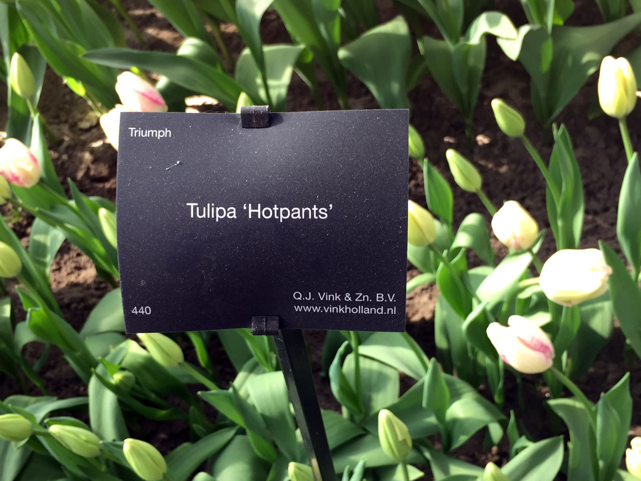 Tulipa 'Hotpants' at Keukenhof gardens, Netherlands