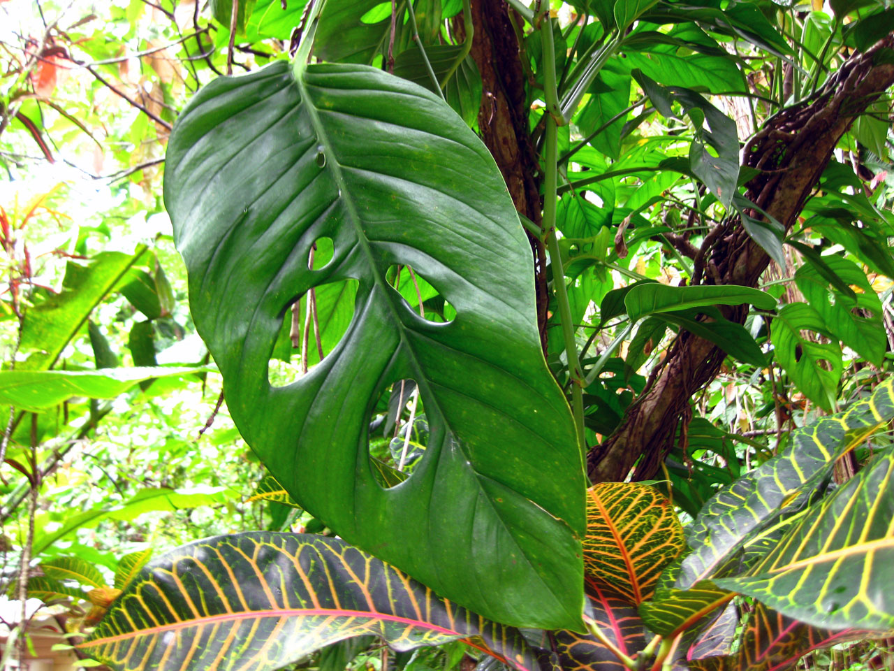 A leaf that looks like a face, Diamond Falls Botanical Gardens, Saint Lucia