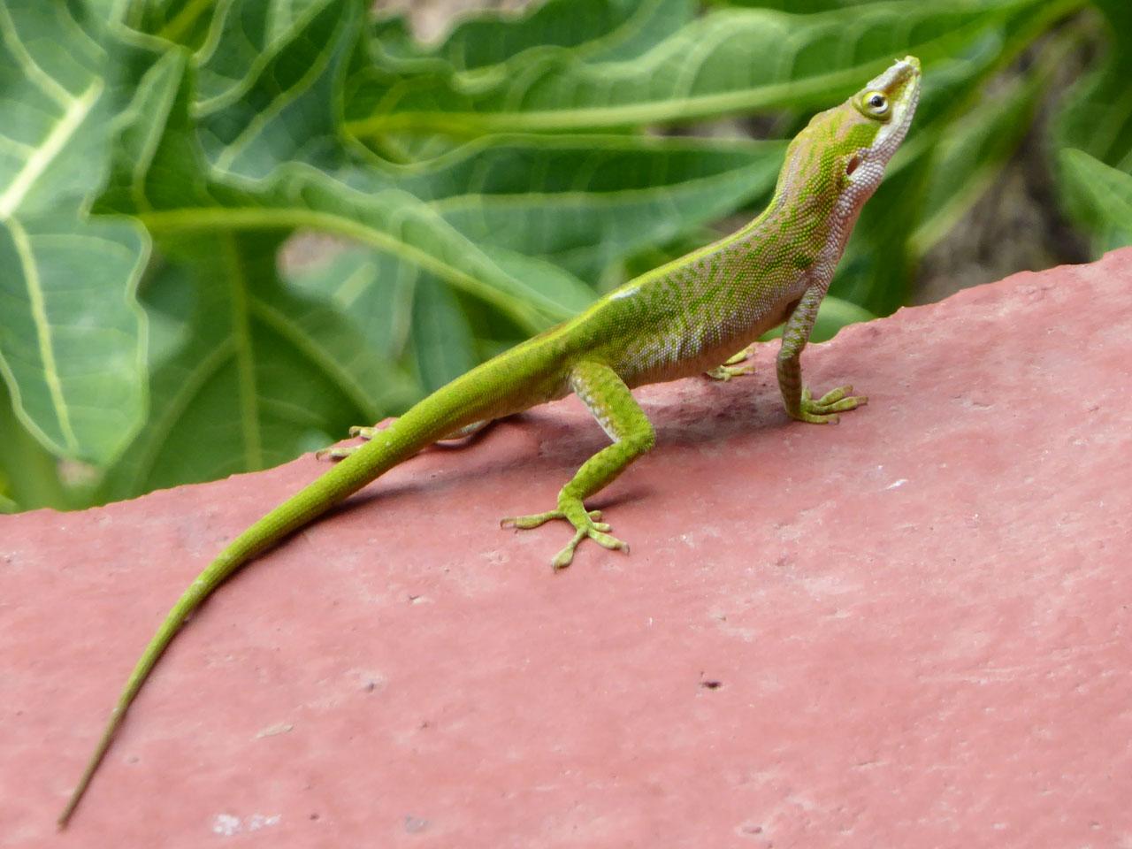 Lizard in Viñales, Cuba