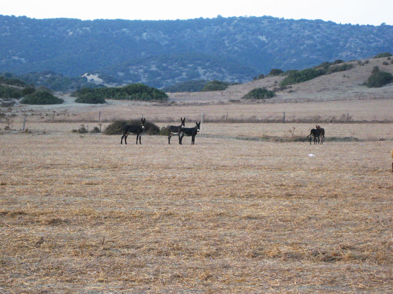 Wild donkeys on the Karpaz Peninsula, Cyprus