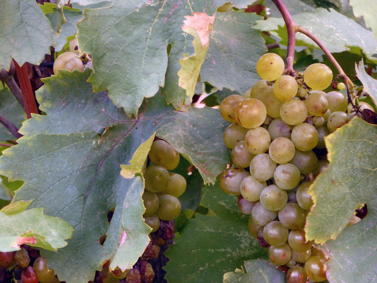 Grapes at the Alaverdi Monastery, Georgia