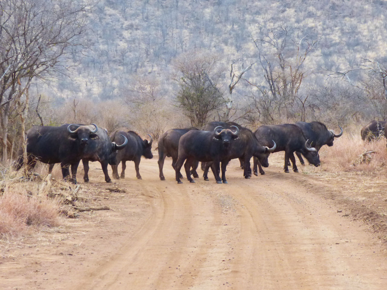 Herd of Cape buffalo in Madikwe Game Reserve, South Africa