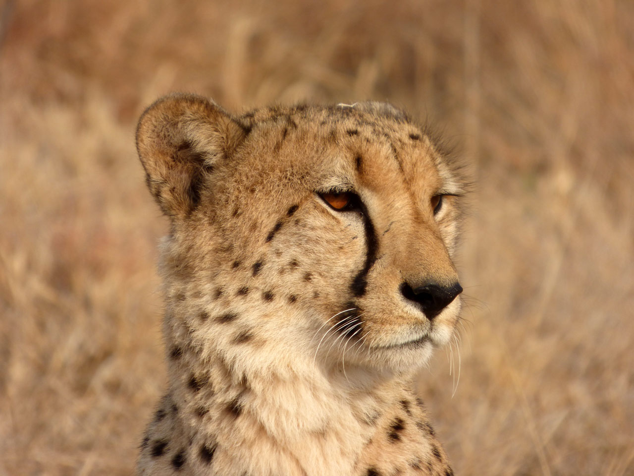Cheetah in Madikwe Game Reserve, South Africa