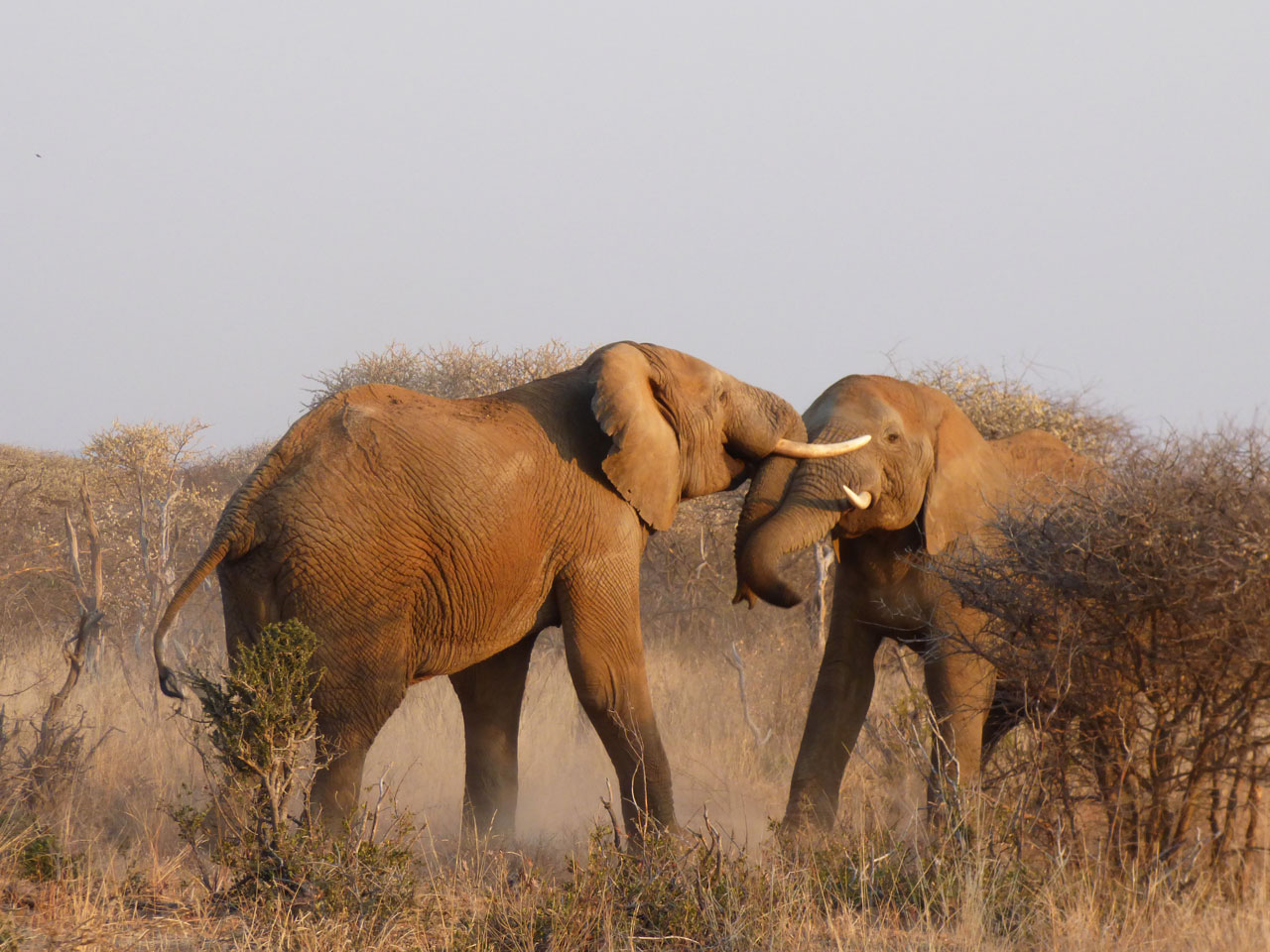 Elephants fighting in Madikwe Game Reserve, South Africa
