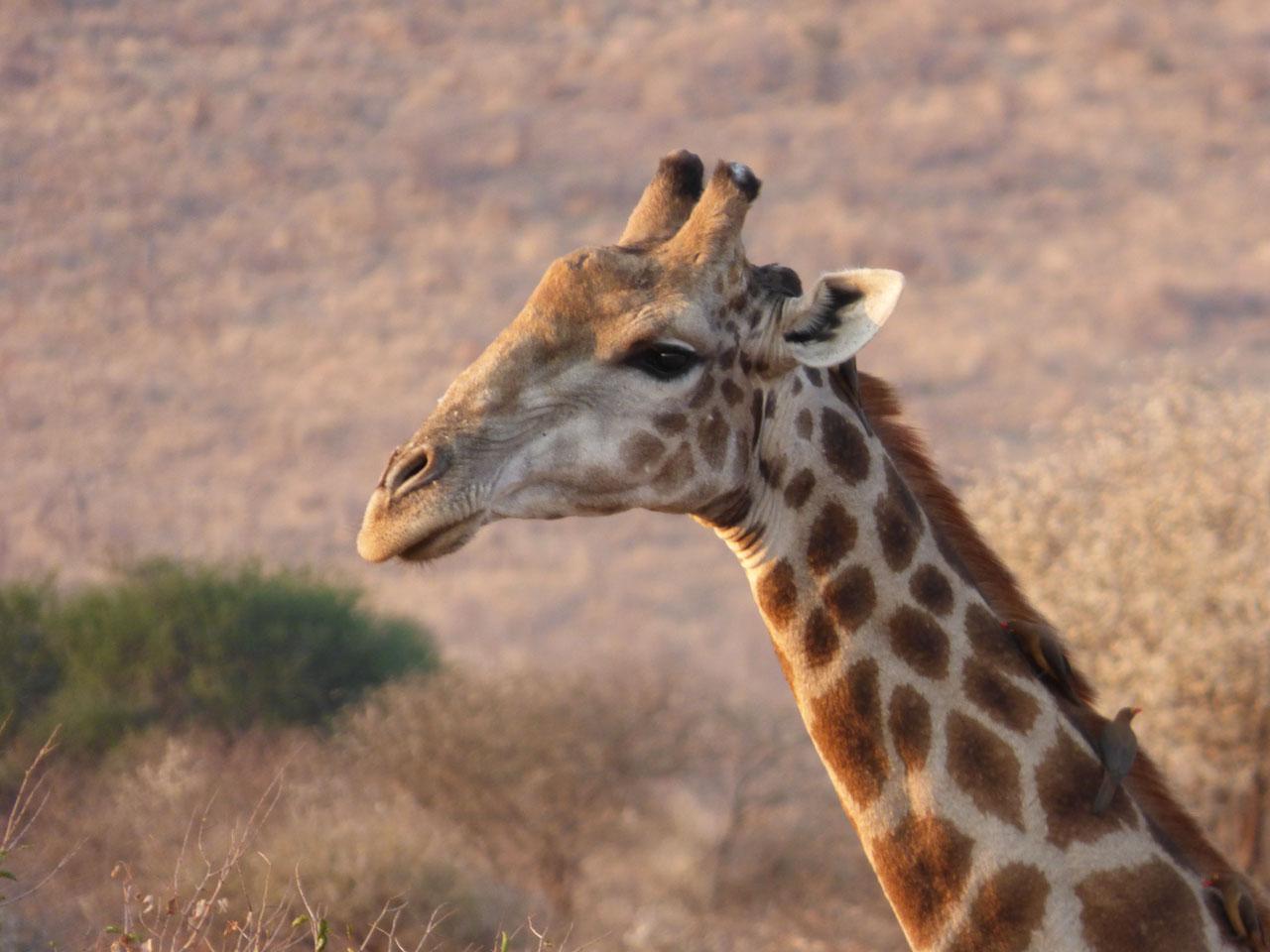 Giraffe in Madikwe Game Reserve, South Africa