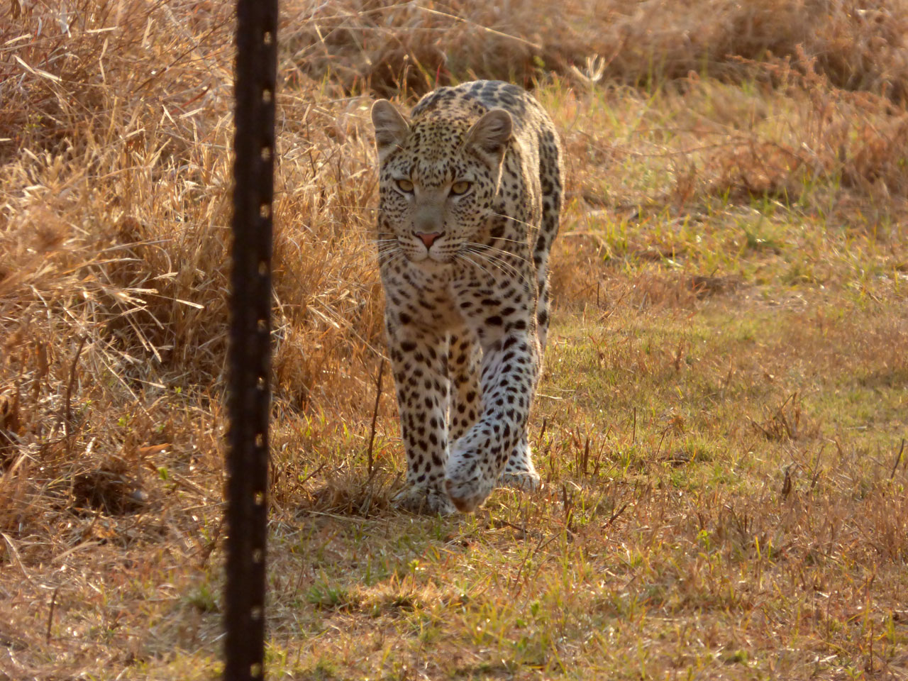 Leopard at Sanctuary Makanyane Lodge, South Africa