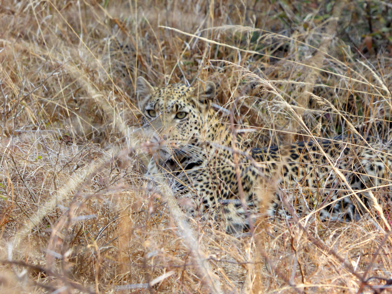 Leopard in the undergrowth at Sanctuary Makanyane, South Africa