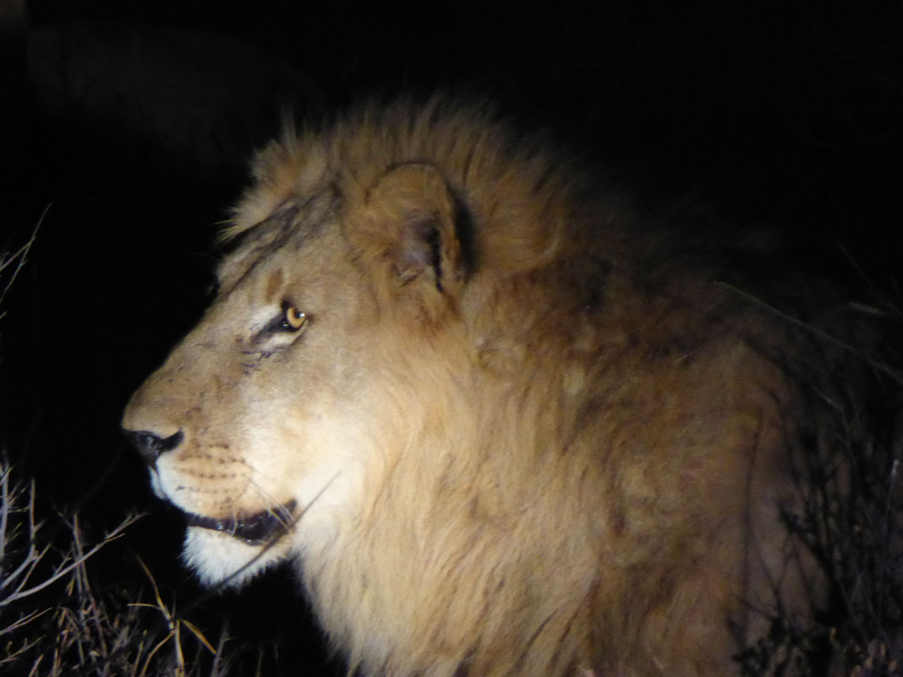 Male lion in Madikwe Game Reserve, South Africa