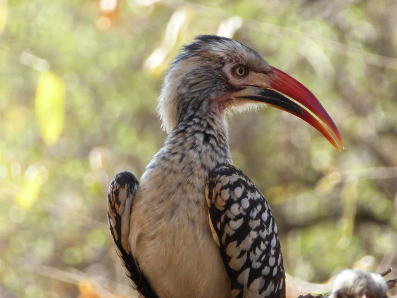 Red-billed hornbill at Sanctuary Makanyane Lodge, South Africa