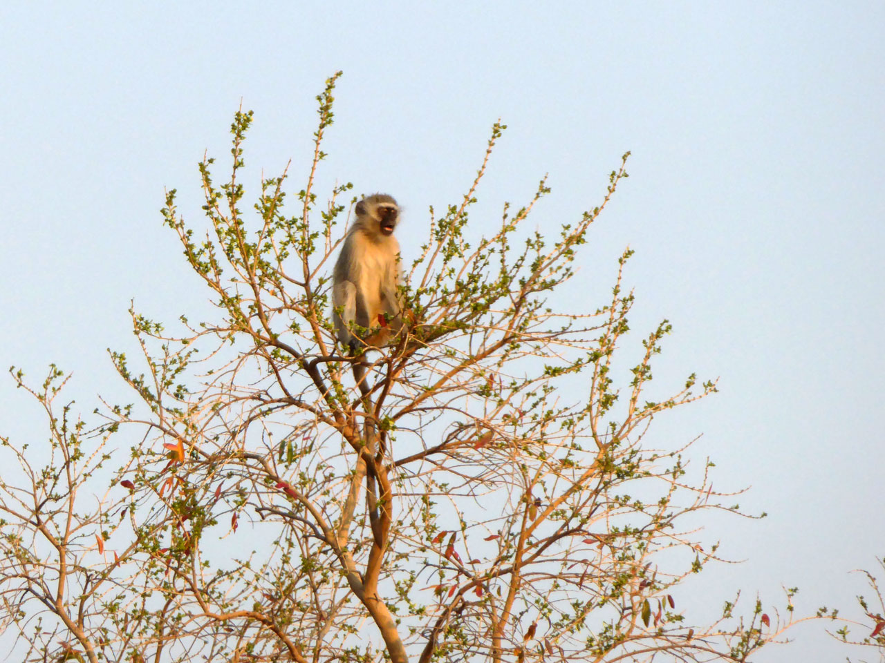 Vervet monkey in Madikwe Game Reserve, South Africa