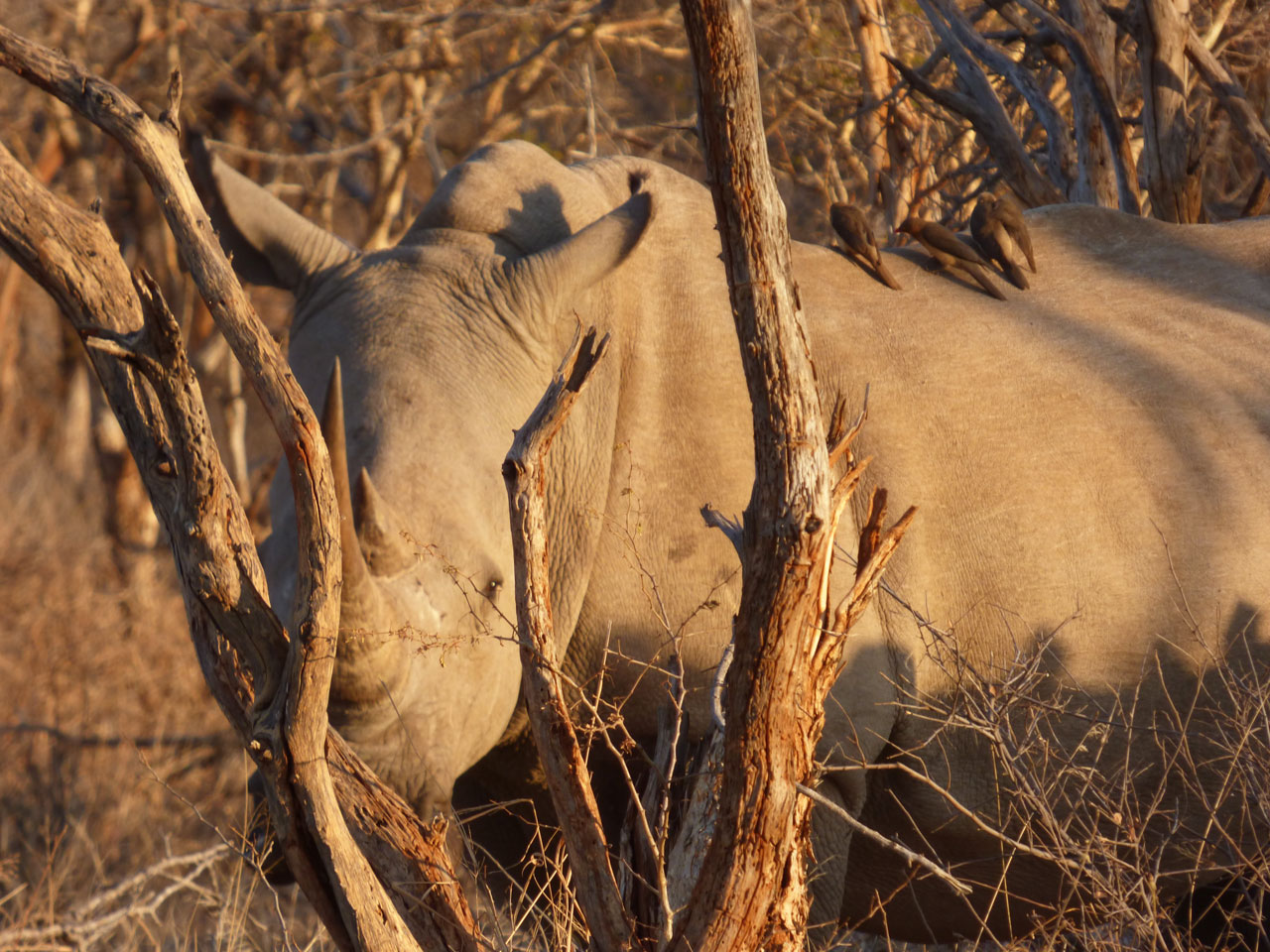 White rhino in Madikwe Game Reserve, South Africa
