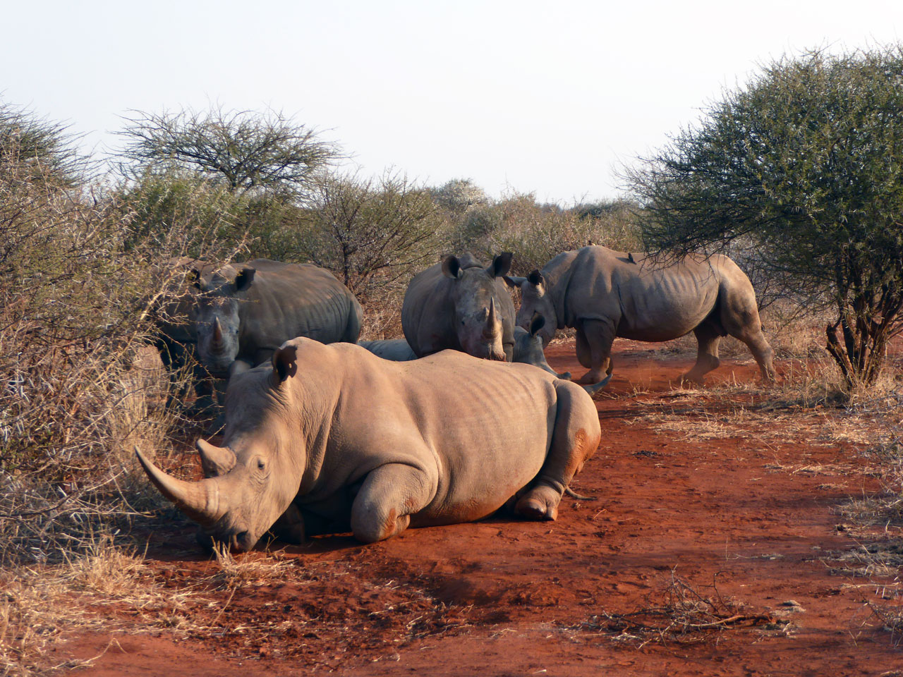 White rhinos in Madikwe Game Reserve, South Africa