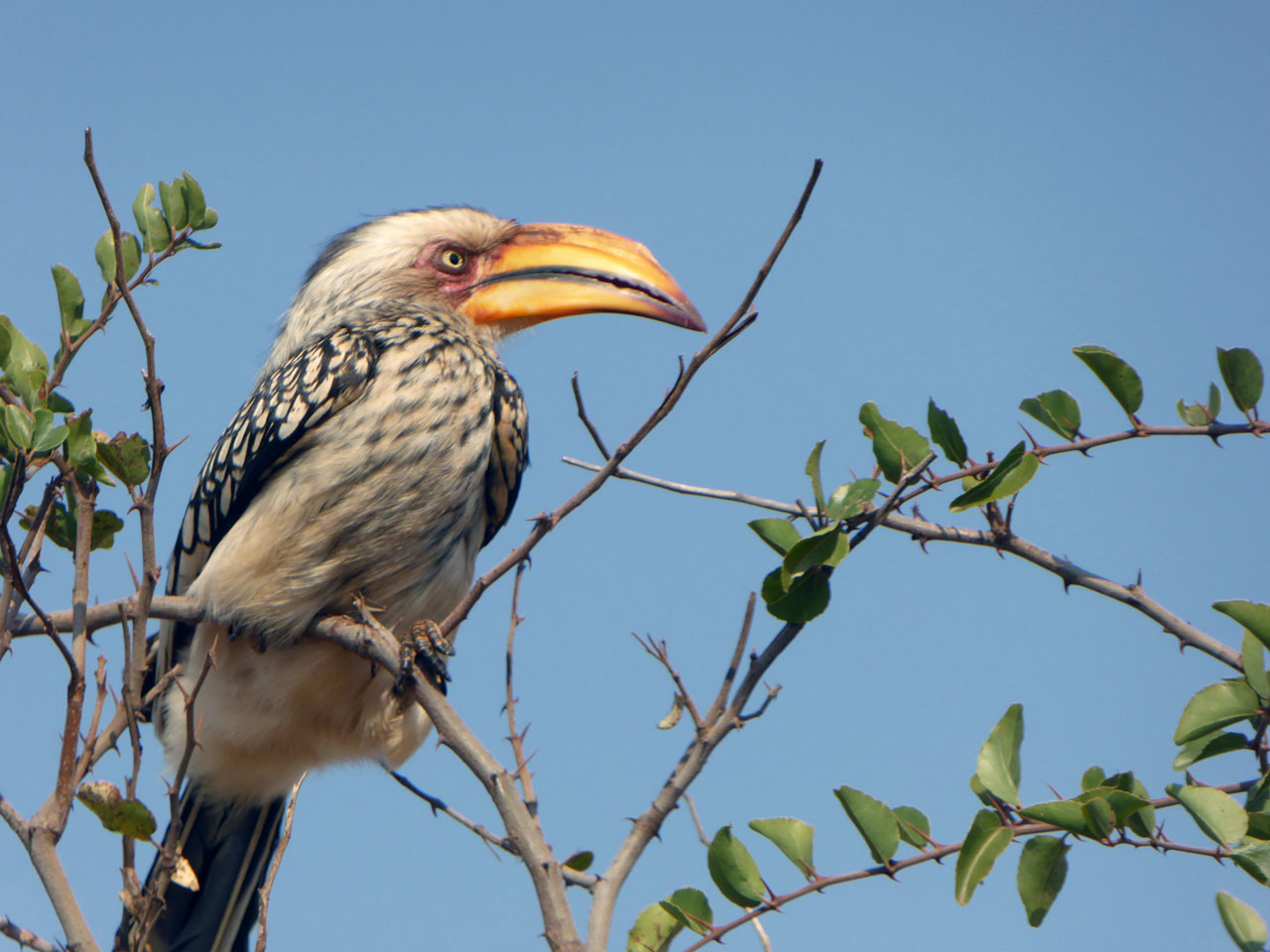 Yellow-billed hornbill in Madikwe Game Reserve, South Africa