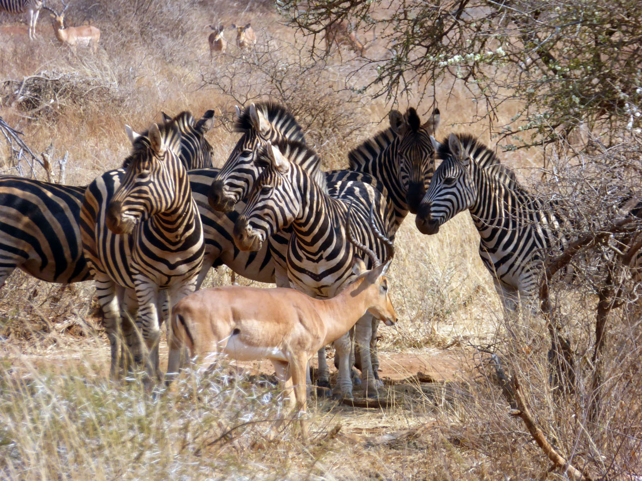 Zebras and impalas in Madikwe Game Reserve, South Africa